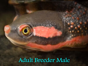 Red-Faced Big Headed Turtles! CB 2017/18. Rare opportunity.