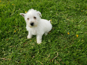 2 female westhighland terrier