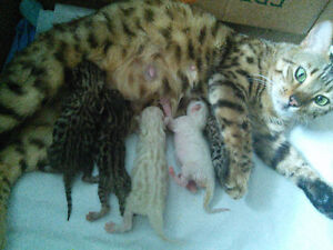 Purebred Bengal Brown Tabbies and Snow Minks.