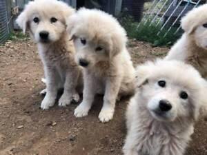 Maremma Puppies