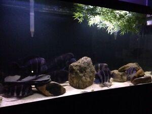 120 gallon fish tank + 5 Frontosas