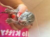 Half Bangal kittens