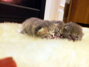 3 Persian/British Shorthair Kittens