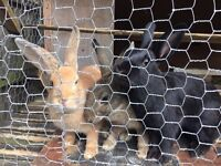 Rabbits for sale asap