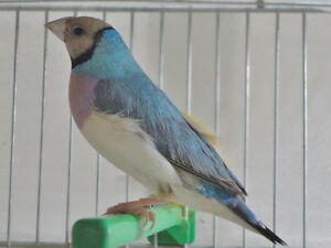 LOOKING FOR BLUE GOULDIAN HENS