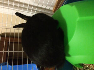 Baby Black Bunny and Cage/Supplies