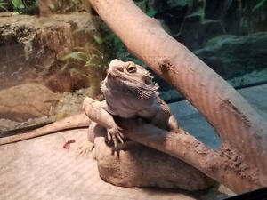dragon barbu bearded dragon