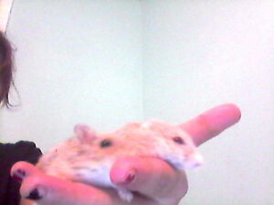 Two russian dwarf hamsters $40 London Ontario image 1