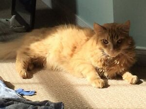Free one year old orange long haired cat