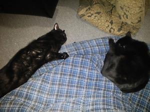 Lost black female cat