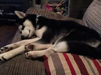 Female husky for sale 8 months