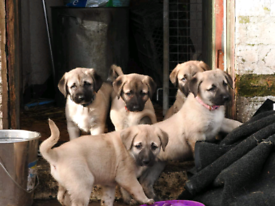 KC Registered Anatolian Shepherd Dogs similar to Kangals