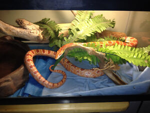 Corn snake and enclosure for sale.