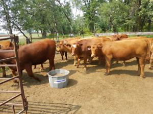 11 bred heifers