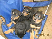 100% pure rottweiler puppies for sale