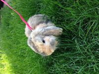 lapin bélier hollandais male 1 ans
