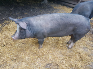 Pure Berkshire sow for sale