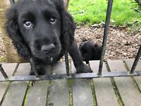 Cocker pups