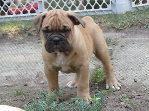 Registered Olde English Bulldogge Puppy