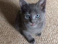 Blue / grey & white kittens ready now