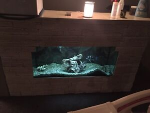 100 gallon fish tank with 3 frontosa