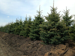 TREES FOR SALE,     SPRUCE,    LANDSCAPE