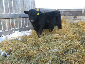 Black Angus yearling Bulls for sale