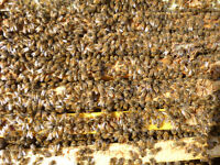 4 Frame Honey Bee Nucs For Sale Spring 2016 Season