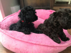 POODLE pups and 6 month old