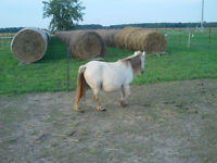 Mini mare for sale