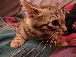 Really cute kittens for adoption
