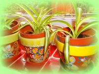 Spider plants in hand painted pots