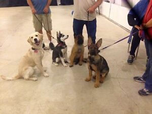 Puppy Obedience Class: S.T.A.R.T. Great Beginnings London Ontario image 5