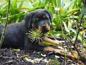 Reichmeister Rottweilers Armadale Armadale Area Preview