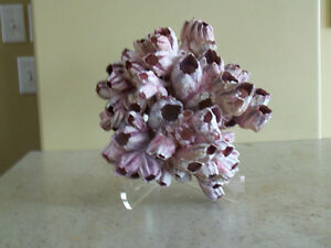 Barnacle Coral