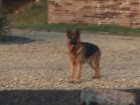 German shepherd male 8 month old puppy