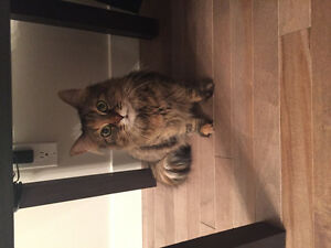 Spayed cat free to good home