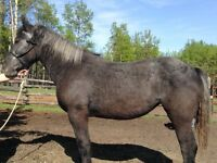 Two grey percheron draft horse mares forsale