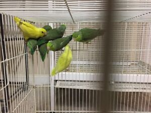Young Parrotlets