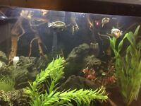 Fish tank with green spotted puffers
