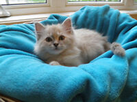 BEAUTIFUL RAGDOLL KITTEN READY NOW , WON LOTS OF AWARDS
