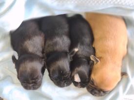 Gorgeous chihuahua puppies 4 LEFT