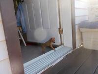 Chihuahua croisé Pinscher nain