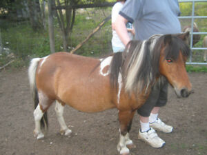 Miniature Mares double registered  REDUCED