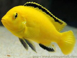 Cichlidés Labidochromis Coerulus