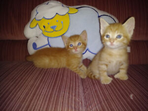 Chatons Abyssin croisé