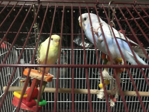 Budgie brid for sale