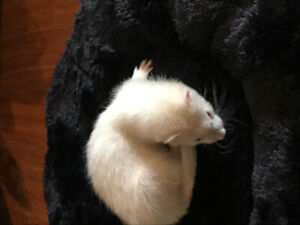Baby Ferrets - Reserve Now!!