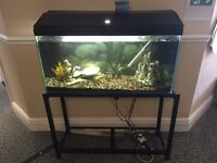 Large fish tank with stand and big pleco fish