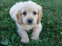 Cute Cockapoo puppies available!